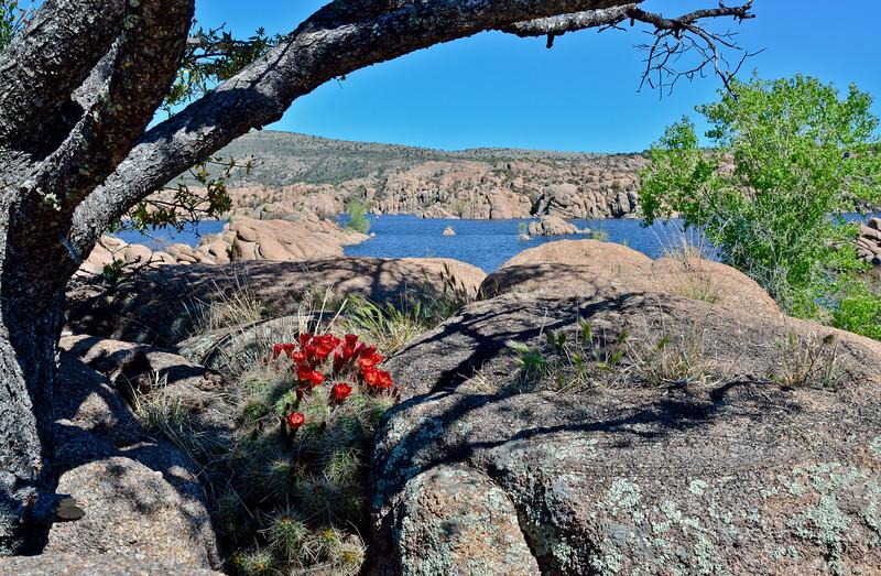 AZ-CTS-Echinocereus coccineus 2020.4.27#0494.4. The Claret Cup or Scarlet Hedgehog cactus. Watson Lake in the Prescott Dells, Arizona.