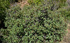 AZ-TS-Frangula californica 2019.9.21#382.2. California Buckthorn. Mingus Mountain Arizona.