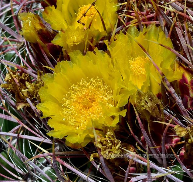 AZ-CTS-Ferocactus cylindraceus 2020.5.22#9978.1X. Compass Barrel cactus. Hills north of Aguila Arizona.
