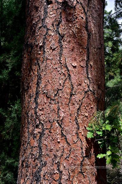 AZ-TS-Pinus ponderosa 2019.9.8#033.3. The Ponderosa Pine. Mingus Mountain Arizona.