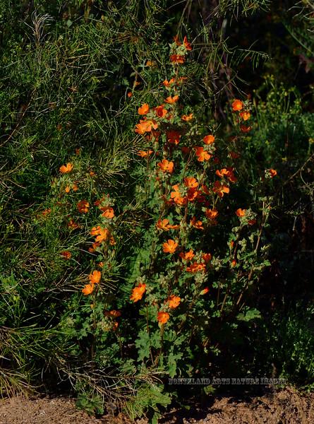 AZ-F-Sphaeralcea ambigua 2019.3.6#104, the Desert Globemallow. Near Why Arizona.