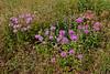 MT-F-Monarda fistulosa 2018.7.3#5409. Wild Bergamot, a Mint species. Nat. Bison Range Montana.