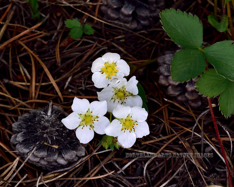 WY-F-Fragaria virginiana 2019.6.20#1726. Wild Strawberry. Canyon campground area, Yellowstone Park Wyoming.