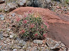 AZ-CTS-Echinocactus polycephalus 2019.6.17#062. A Cottontop Cactus.<br /> Route 89, 20 miles south of Page Arizona.