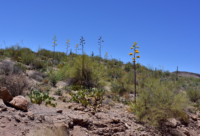 AZ-AOY-Agave chrysantha 2018.6.19#085, the Golden-flowered Agave. Summit area of Apache Trail Arizona.