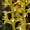 WY-F-Corallorhiza maculata 5, 2019.6.21#1832.2.NI. A yellow form of the Western Spotted Coral Root Orchid. Teton forest, south of Yellowstone Park Wyoming.