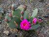 AZ-CTS-Opuntia basilaris 2020.3.29#9336.3. The Beavertail Prickly Pear Cactus. Kingman wash near Hoover Dam Arizona.