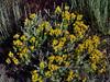 UT-TS-Ericameria  nauseosa 2019.6.18#799. Rubber Rabbitbrush. RT191, S.of Duchesne, Utah.