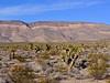 AZ-AOY-Yucca brevifolia 2018.6.29#5903, the Joshua Tree. Mohave Desert Arizona.