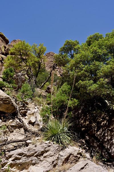 AZ-AOY-Dasylirion wheeleri 2018.5.5#735, Sotol. Chiricahua Mountains Arizona.
