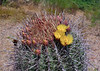 AZ-CTS-Ferocactus wislizeni 2020.6.10b#3556.4. Arizona Barrel Cactus. Near Globe Arizona.