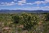 NV-TS-Purshia maybe glandulosa 2017.5.20#729. Bitterbrush Desert Rose. Rt 95, Nevada.