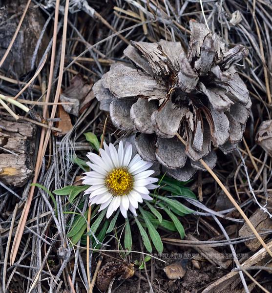 AZ-F-Townsendia exscapa 2019.5.5#115.3. Stemless Townsend Daisy, uncommon. Mingus Mountain Arizona.