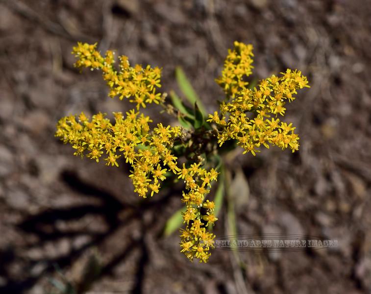AZ-F-Solidago missouriensis 2019.8.20#099.3. The Prairie Goldenrod. Mingus Mountain Arizona.