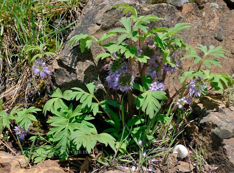 ID-F-Hydrophyllum capitatum 2014.5.12#036. Ballhead Waterleaf. Notice the Land Snail. Old Clearwater/Salmon Road, above Whitebird, Idaho.