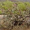 AZ-CTS-Cylindropuntia acanthocarpa 2018.5.1#412, the Buckhorn Cholla. Sonora Desert Arizona.