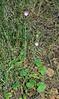 AZ-F-Sidalcea neomexicana 2020.7.12#0955.2. New Mexican Checkermallow. Mongollon Rim, east of Clint Wells Arizona.