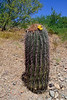 AZ-CTS-Ferocactus wislizeni 2020.6.10a#3552.3. Arizona Barrel Cactus.<br /> Near Globe Arizona.