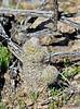 AZ-CTS-Mammilaria tetrancistra 2019.3.5#053. A Fishhook Pincushion. Organ Pipe Cactus NP, Arizona.