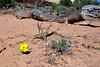 UT-Calyophus lavandulifolia, Lavender Evening Primrose. Canyonlands, Utah. #108.550.