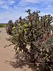 AZ-CTS-Cylindropuntia versicolor 2018.5.1, the Staghorn Cholla in a yellow green variation. Sandario Rd, Pima County Arizona.