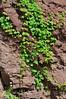 NJ-TS-Parthenocissus quinquefolia 2008.4.21#116. Virginia Creeper. Jersey Narrows, near Milford New Jersey.