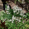 PA-F-Eurybia divaricata 2020.9.14#0277.3. White Wood Aster. Lower Tinicum Township, Bucks County Pennsylvania.