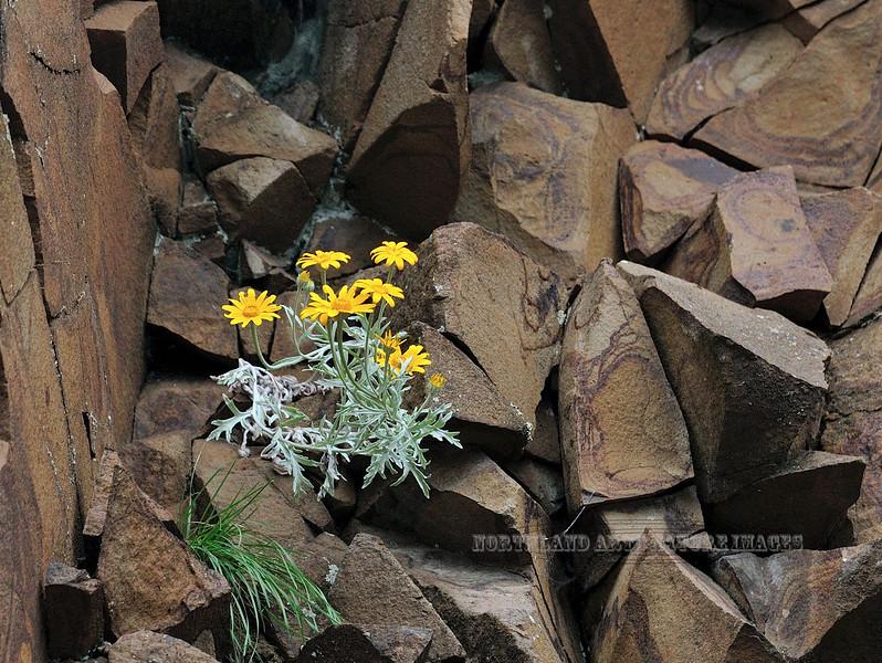 ID-F-Eriophyllum lanatum 2012.6.19#070. Commonly called Golden Sunshine. Harpster Grade, Idaho.