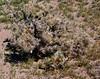 AZ-CTS-Cylindropuntia eschinocarpa 2020.3.5#7606.3. The Silver Cholla. Mohawk Sand Dunes south of Tacna Arizona.