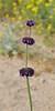AZ-F-Salvia columbariae 2019.3.20#021. Chia in the Sonoran Desert south of Tucson.