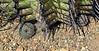 AZ-CTS-Mammilaria species 2019.3.20#152. A Fishhook Pincushion, maybe Graham's. Growing from beneath a large Ferocactus. Saguaro West NP, Arizona.