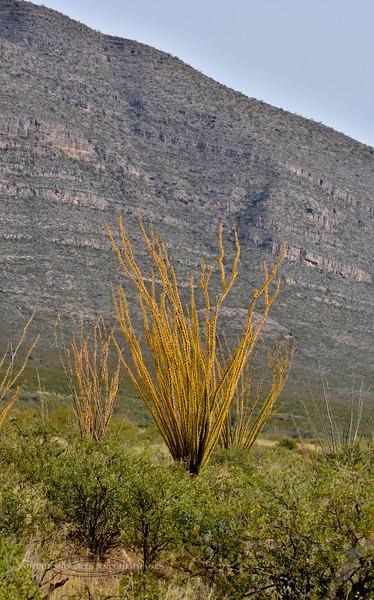 AZ-AOY-Fouquieria splendens 2019.11.7#862.2. Ocotillo in brilliant fall color. Chihuahua Desert near Douglas Arizona.