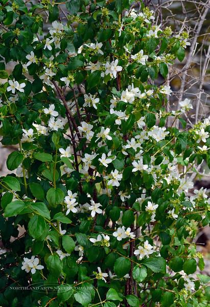 ID-TS-Philadelphus lewisii 2018.7.1#3750. Mock Orange, or Syringa. The state flower of Idaho. Lolo Pass, Idaho.
