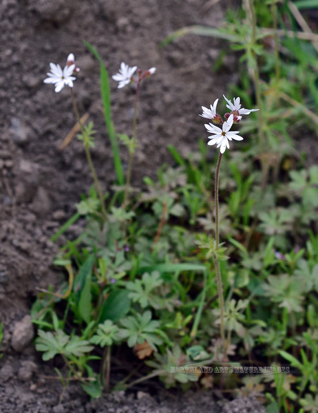 WY-F-Lithophragm parviflorum 2019.6.20#1736. Small-Flowered Woodland Star. Canyon campground area, Yellowstone Wyoming.