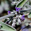 NV-TS-Hyptis emoryi 2020.4.21#8053.3. Desert Lavender. Near Christmas Tree Pass in the Newberry Mountains Nevada.