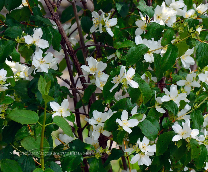 ID-TS-Philadelphus lewisii 2018.7.1#3750. Mock Orange, or Syringa. The state flower of Idaho. Lolo Pass, Idaho.