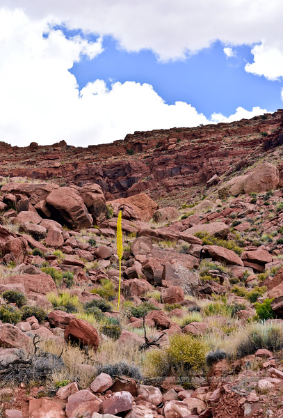AZ-AOY-Dasylirion wheeleri 2019.6.17#087.3. A lone blooming Sotol in a rugged gully about twenty miles south of page Arizona.
