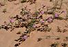 AZ-F-Abronia villosa 2020.3.5#7538.2  Desert Sand Verbena in the Fortuna Sand Dunes Arizona.