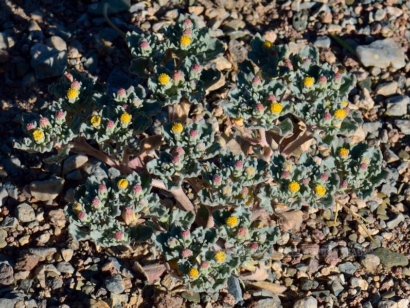 NV-F-Psathyrotes ramosissama 2018.6.30#3396. The Velvet Turtleback. In desert scrub south of Alamo Nevada.