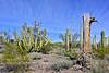 AZ-CTS-Stenocereus therberi 2019.3.5#075, the Organ Pipe Cactus. Organ Pipe Cactus NM, Arizona.