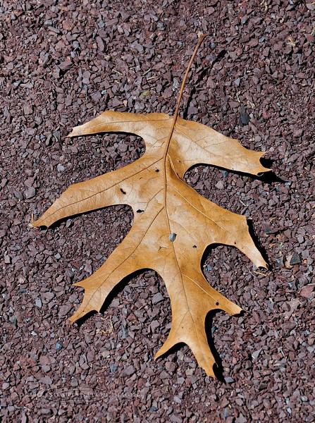 PA-TS-Quercus palustris 2008.4.17#345.3. A Pin Oak leaf. Bowman's Hill, Bucks County Pennsylvania.