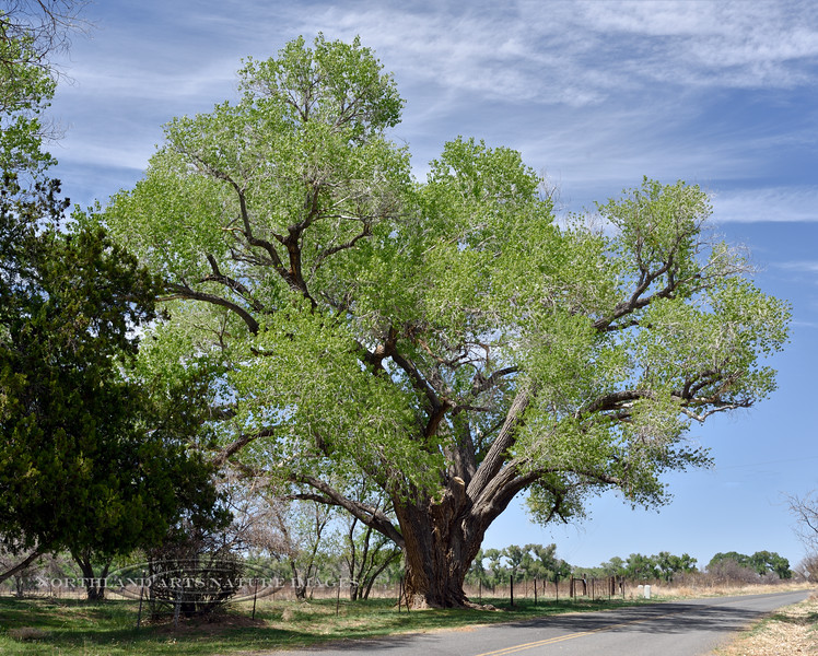 AZ-TS-Populus fremontii 2021.4.15#6243.2. A grand old Fremont Cottonwood. Near Skull Valley Arizona.