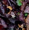 PA-F-Coptis trifolia 2016.5.1#533.3. Goldthread. Pike County Pennsylvania.