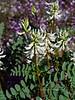 AZ-F-Astragalus praelongus 2019.4.8#001, the Stinking Milkvetch. Verde Valley Arizona.