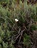 UT-F-Calochortus nuttallii 2019.6.17#199, the Sego Mariposa Lilly in Big Sage. Grand Staicase-Escalante, Utah.