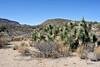AZ-AOY-Yucca brevifolia 2021.3.1#5837.2. Young Joshua Trees along the Joshua Forest Parkway, Route 93, Arizona.