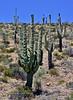 AZ-CTS-Carnegiea gigantea 2020.6.10#0723.2. A grand old Sagauro Cactus. Tonto Basin near Lake Roosevelt Arizona.