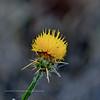 ID-F-Centaurea solstitialis 2018.7.1#3427. The Yellow Star Thistle. Top of White  Bird Grade Idaho.