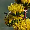 AZ-AOY-Agave parryi with Hummingbird. Prescott Nat. Forest, Yavapai County Arizona. #611.747.