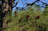 AZ-TS-Pinus ponderosa 2016.4.24#001.2. Ponderosa Pine. Mingus Mountain, Arizona.